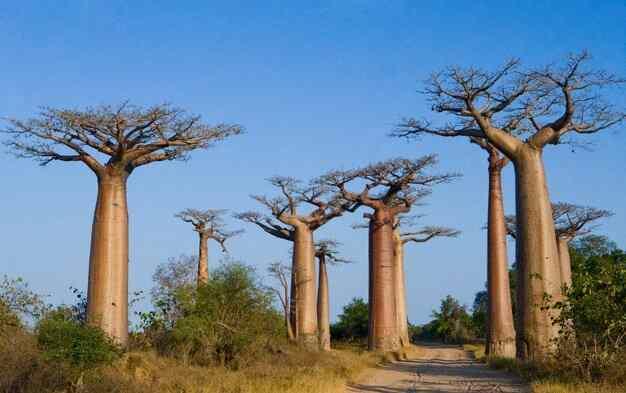 Инетересные факты о Мадагаскаре на фоне аллеи из баобабов.