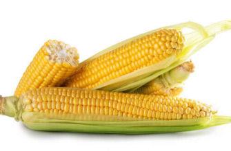 три кукурузных початка на белом фоне в статье факты о кукурузе