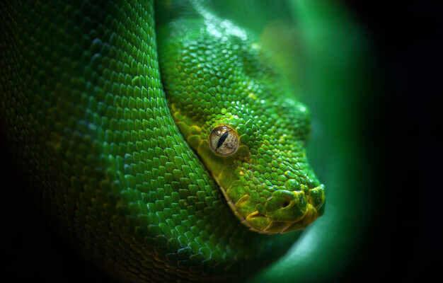Изображение зеленого древесного питона в статье факты о змеях